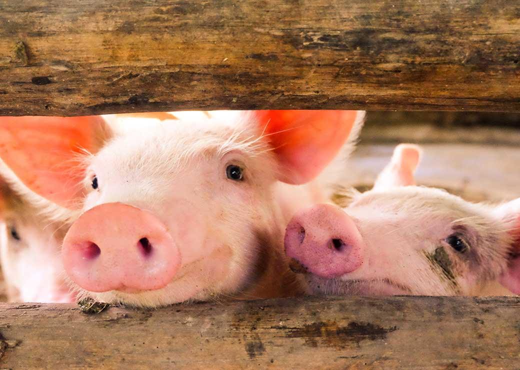 Kanzlei Wackerbauer & Coll.: Auch Schweine spielen gerne - Beschäftigungsmöglichkeiten für intelligente Tiere